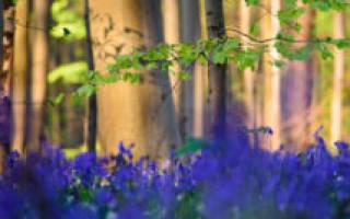 Синий лес Халлербос, Бельгия — обзор