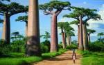Аллея баобабов, Мадагаскар — обзор