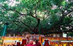Дерево Бодхи, Индия — обзор