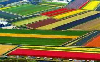 Поля тюльпанов в Лиссе, Нидерланды — обзор