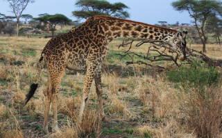 Национальный парк Серенгети, Кения-Танзания — обзор