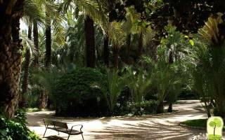 Пальмовый лес в Эльче, Испания — обзор