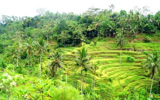 Рисовые террасы Тегаллаланг, Индонезия — обзор